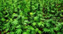 Detenen tres veïns de Lloret i Sant Celoni per una plantació de Marihuana