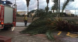 El morrut fa caure una palmera al Passeig Marítim de Malgrat de Mar