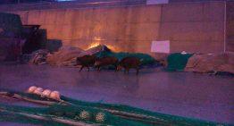Un grup de senglars s'acosta fins al port de Blanes