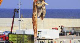 La balena morta de Lloret acaba a les escombraries