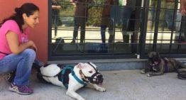 Blanes interposa 2.500 euros de multa al propietari d'un gos perillós