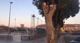 L'Ajuntament de PLF tala un dels històrics eucaliptus del Palauet