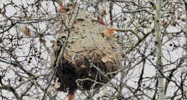 Detecten el primer cas de depredació de vespa asiàtica per part de l'aligot vesper a la Serralada Litoral