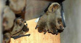 Calella instal·la nius de ratpenats per controlar els mosquits