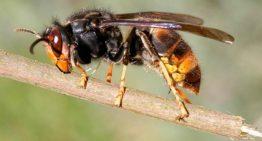 L'afectació de la vespa asiàtica a Palafolls es posa a debat avui en una xerrada a l'Ajuntament