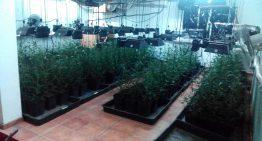 Desmantellen a Tordera una plantació amb 512 plantes de marihuana