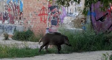 Es detecta la presència de senglars en zones habitades de Palafolls i municipis de les rodalies