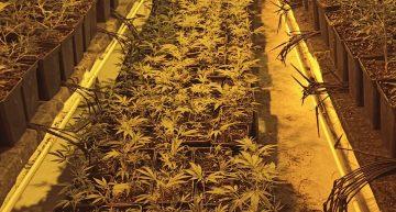 Dos detinguts i 2.300 plantes de marihuana descobertes al centre de Malgrat