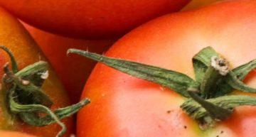 El sector agrari del Maresme entregarà tomacons a les residències per agrair el paper de professionals i usuaris